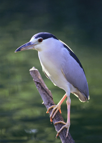 black crowned night heron nesting pairs cape may new jersey